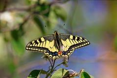 Primo piano del mahaon della farfalla Fotografie Stock Libere da Diritti