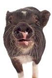 Primo piano del maiale Fotografie Stock