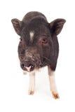 Primo piano del maiale Fotografia Stock Libera da Diritti