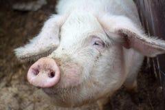 Primo piano del maiale Fotografie Stock Libere da Diritti
