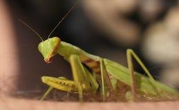Primo piano del mantis di preghiera Immagini Stock