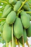Primo piano del mazzo crudo verde fresco di papaia sull'albero di papaia Immagine Stock