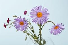 Primo piano del mazzo del fiore di amellus dell'aster Fotografia Stock Libera da Diritti