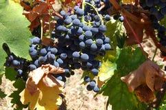 Primo piano del mazzo dell'uva rossa Immagine Stock