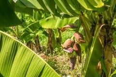 Mazzo cavendish gigante della banana sulla piantagione for Disegni del mazzo del secondo piano