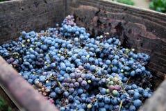 Primo piano del mazzo di uva rossa Immagine Stock