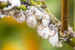 Primo piano del mealybug del parassita sull'albero di agrume Immagine Stock Libera da Diritti