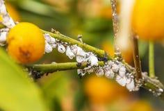 Primo piano del mealybug del parassita sull'albero di agrume Immagini Stock