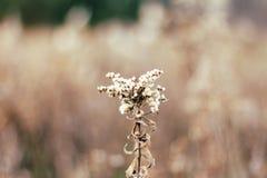 Primo piano del Milkweed Fotografia Stock Libera da Diritti