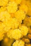 Primo piano del mimosa Fotografia Stock Libera da Diritti