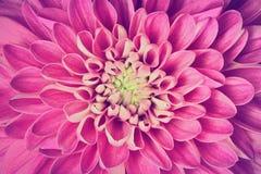 Primo piano del modello dei petali del fiore della dalia Fondo Fotografia Stock