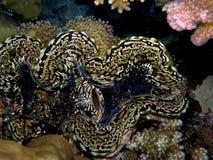 Primo piano del mollusco gigante Immagini Stock