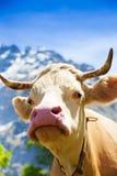 Primo piano del muso della mucca immagine stock libera da diritti
