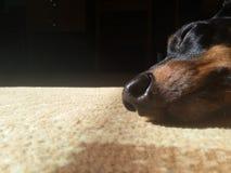 Primo piano del naso del cane Fotografia Stock Libera da Diritti