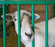 Primo piano del naso dell'agnello delle pecore attraverso le barre della penna fotografia stock