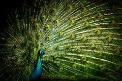 Primo piano del pavone fotografia stock