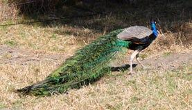 Primo piano del pavone con piume blu e verdi contro fondo neutrale fotografia stock