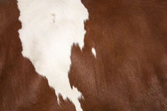 Primo piano del pellame dal lato della mucca rossa e bianca Immagine Stock Libera da Diritti