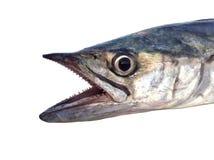 Primo piano del pesce dello sgombro Fotografia Stock Libera da Diritti