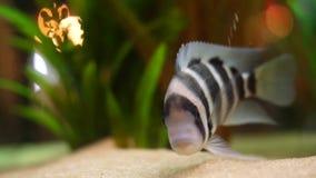 Primo piano del pesce a strisce in bianco e nero esotico sul fondo del carro armato dell'acquario in un'acqua dolce con le piante stock footage