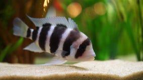 Primo piano del pesce a strisce in bianco e nero esotico sul fondo del carro armato dell'acquario in un'acqua dolce con le piante video d archivio