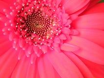 Primo piano del petalo rosso della fioritura di Coral Gerber Daisy Flower Blossom Fotografie Stock