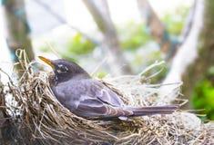 Primo piano del pettirosso della madre sul suo nido con gli alberi del bokeh nel fondo fotografia stock libera da diritti