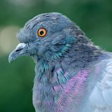 Primo piano del piccione fotografie stock