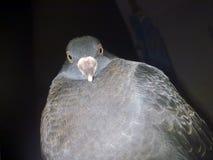 Primo piano del piccione Fotografie Stock Libere da Diritti