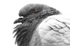 Primo piano del piccione Immagine Stock Libera da Diritti