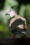 Primo piano del piccione crestato soleggiato sul ramo Fotografie Stock