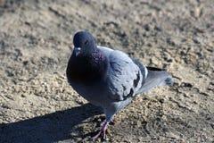 Primo piano del piccione nel parco Juan Carlos I, Madrid immagini stock libere da diritti