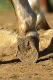 Primo piano del piede di riposo del cavallo Fotografie Stock Libere da Diritti