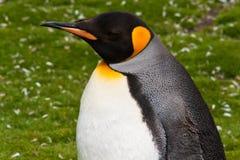 Primo piano del pinguino di re Immagine Stock