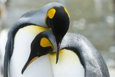 Primo piano del pinguino di re che esamina macchina fotografica fotografie stock