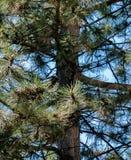 Primo piano del pino Immagini Stock