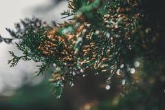 Primo piano del pino fotografia stock
