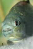 Primo piano del Piranha Immagini Stock