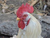 Primo piano del pollo fotografia stock