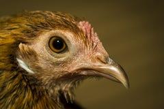 Primo piano del pollo Fotografia Stock Libera da Diritti