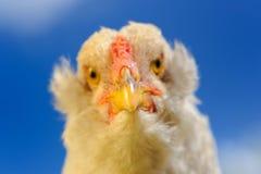 Primo piano del pollo contro cielo blu Fotografie Stock Libere da Diritti