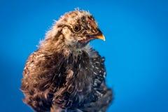 Primo piano del pollo dell'azienda agricola Fotografie Stock Libere da Diritti