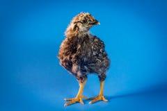 Primo piano del pollo dell'azienda agricola Immagine Stock