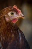 Primo piano del pollo dell'azienda agricola Immagini Stock Libere da Diritti