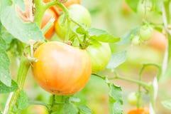 Primo piano del pomodoro non maturo sul gambo nell'azienda agricola di eco Fotografie Stock Libere da Diritti