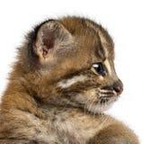 Primo piano del profilo di un gatto dorato asiatico, temminckii di Pardofelis immagine stock libera da diritti