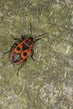 Primo piano del pyrrhocoris apterus del firebug Macro Fotografie Stock Libere da Diritti