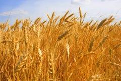 Primo piano del raccolto del cereale Fotografia Stock