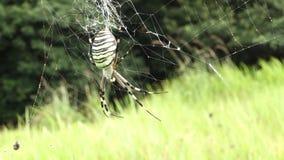 Primo piano del ragno del Argiope, stock footage
