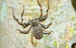 Primo piano del ragno del huntsman Fotografia Stock Libera da Diritti